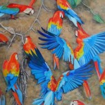 Macaws at Clay Site